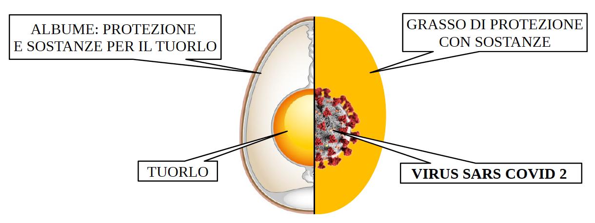 Sars CoVid 2 simile ad un uovo